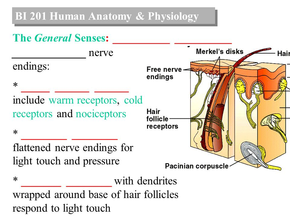 BI 201 Human Anatomy & Physiology - ppt video online download