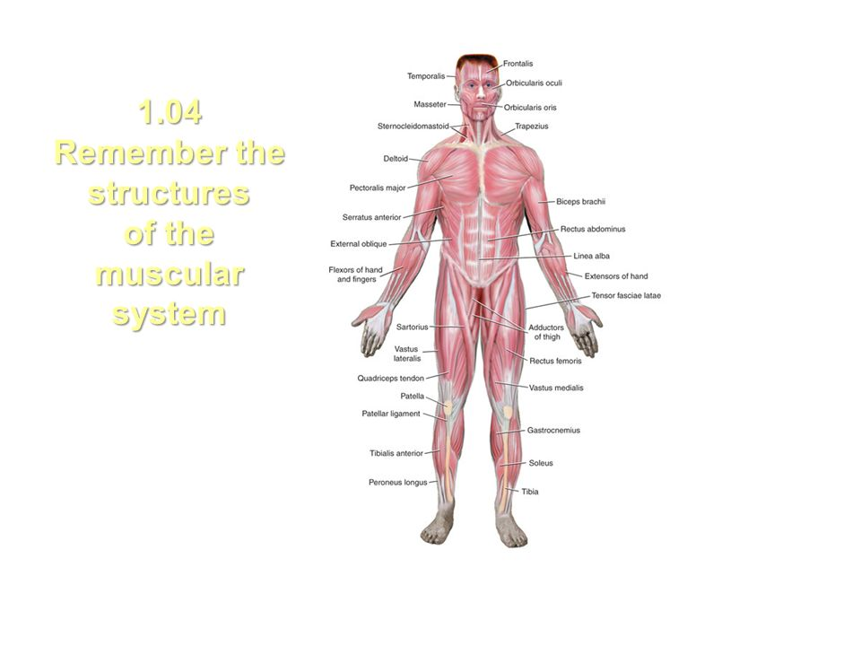 104 Remember The Structures Of The Muscular System Ppt Download