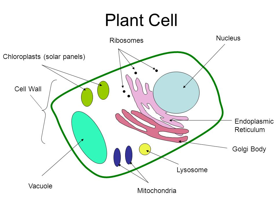 Ribosomes In Plant Cell Diagram Block And Schematic Diagrams