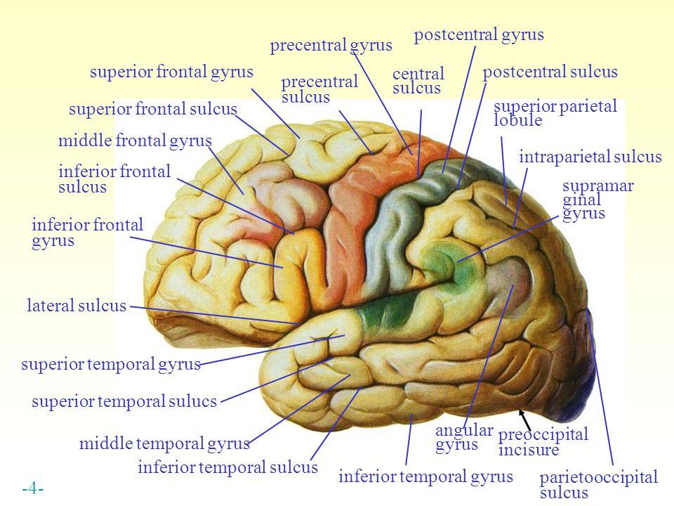 postcentral gyrus precentral gyrus superior frontal gyrus postcentral sulcus central sulcus precentral