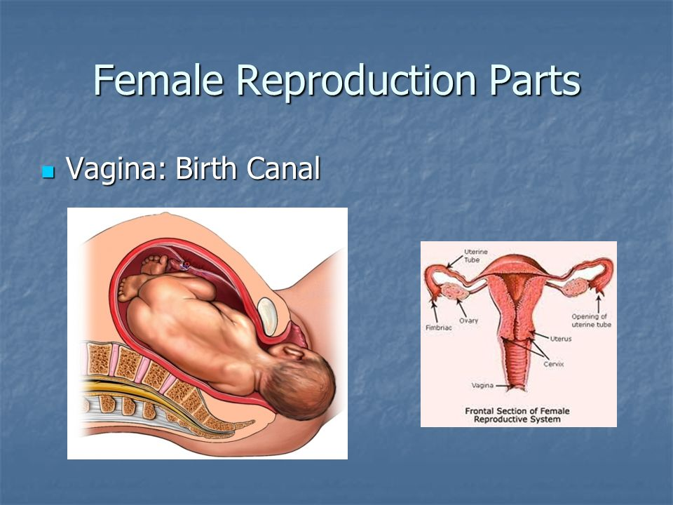 Male and Female Reproductive Systems - ppt video online download