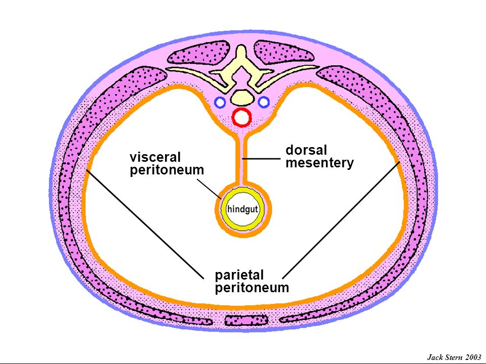 Embryology Of The Gut And Mesenteries Ppt Download