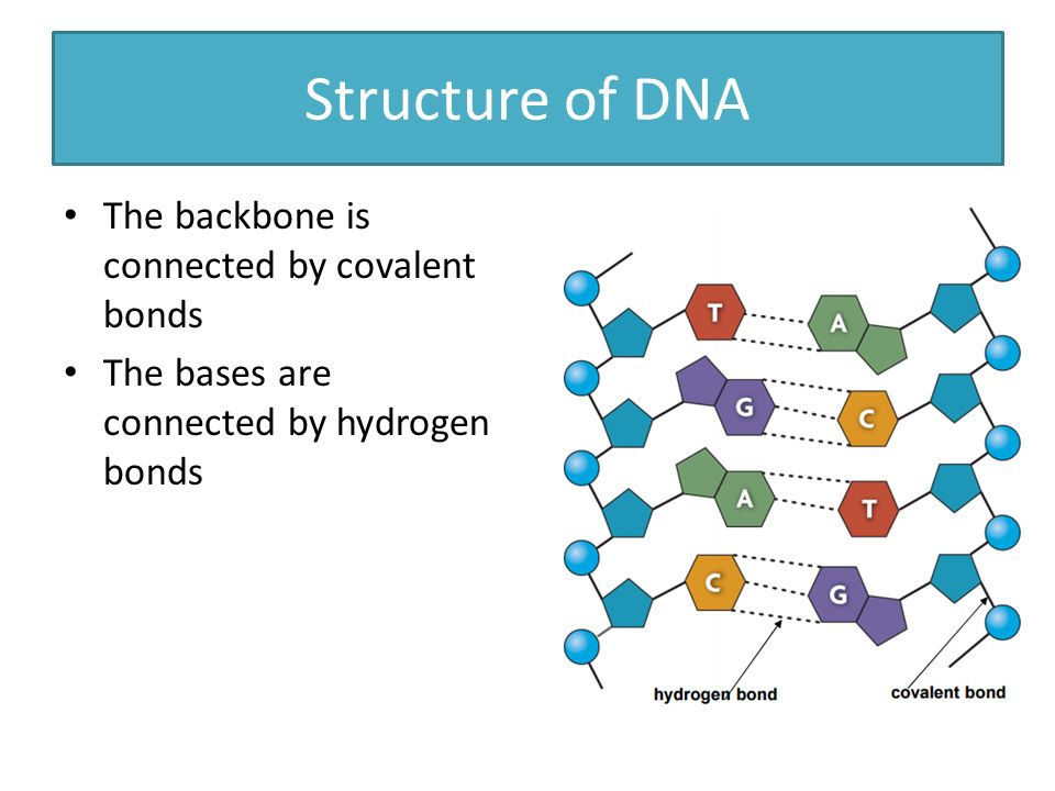 Covalent bonding dna diagram wiring diagram for light switch structure of dna dna is made up of a long chain of nucleotides ppt rh slideplayer com single covalent bond water molecule diagram ccuart Images