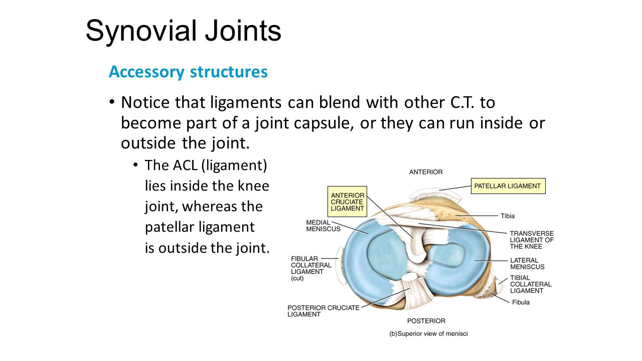 Chapter 9 Joints Lecture Slides Prepared By Curtis Defriez Weber Synovial Joint Diagram 14 Accessory Structures
