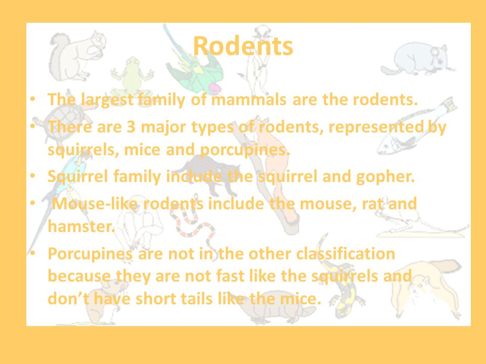 Rodents The largest family of mammals are the rodents.