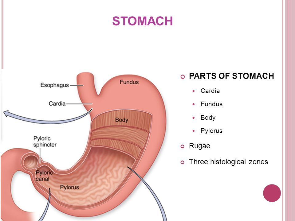 Histology of esophagus gastro esophageal junction ppt video 13 stomach parts ccuart Image collections