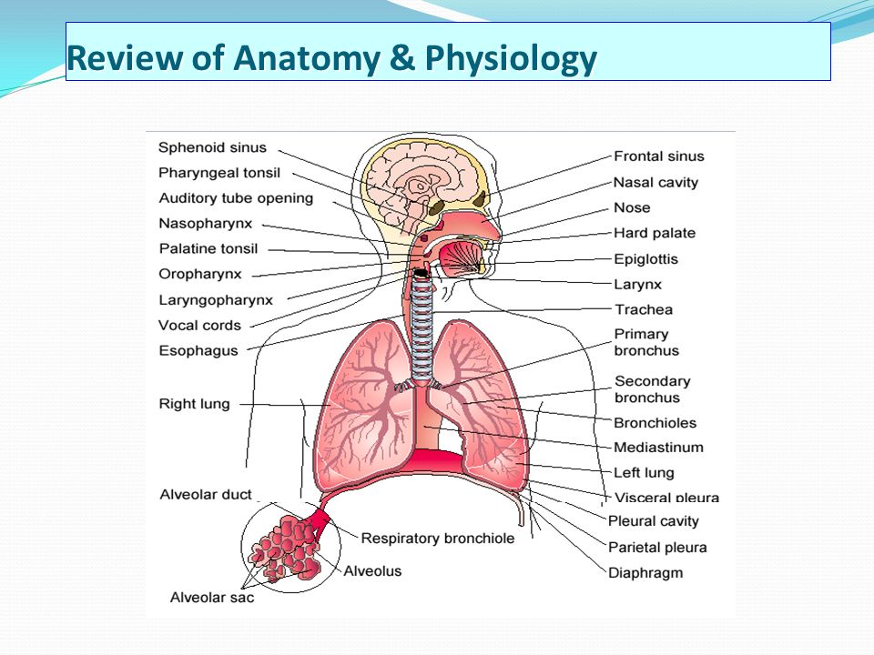 Unique Applied Anatomy Of Respiratory System Composition - Anatomy ...