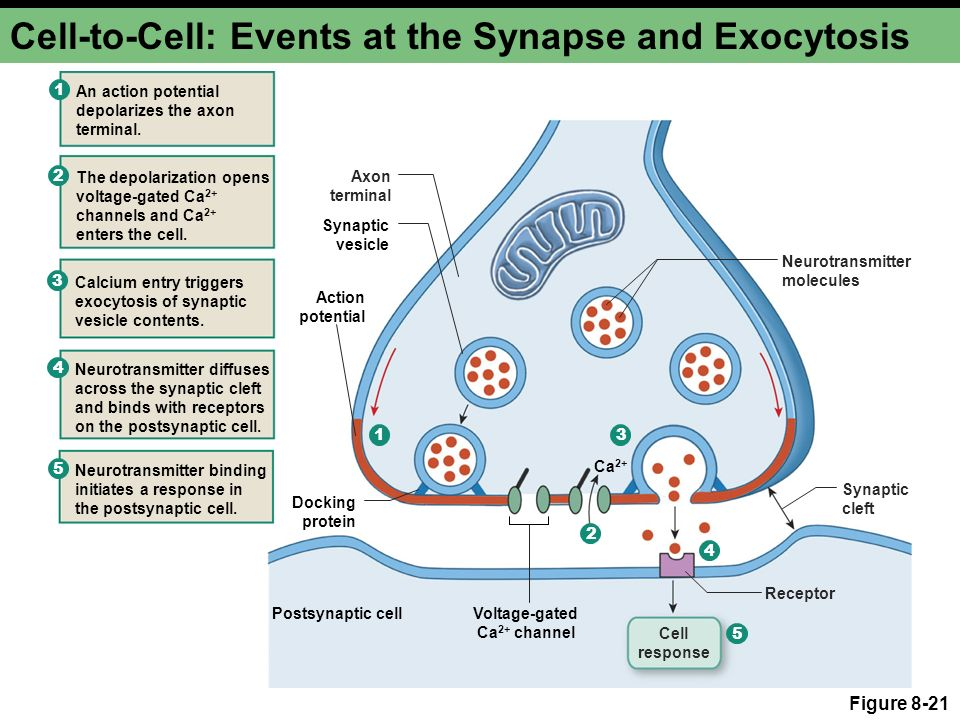 Neurons Cellular And Network Properties Ppt Video Online Download