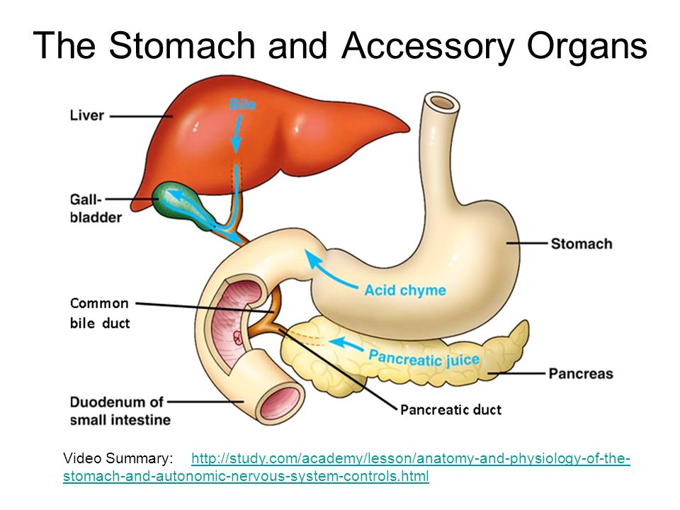 the stomach and accessory organs