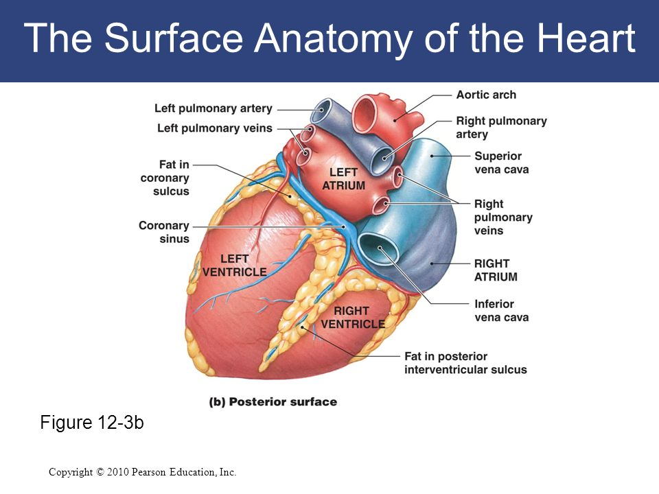 12 The Cardiovascular System: The Heart C h a p t e r - ppt download