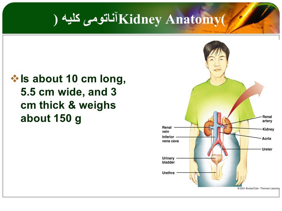 Único Kidney Anatomy And Physiology Cresta - Anatomía de Las ...