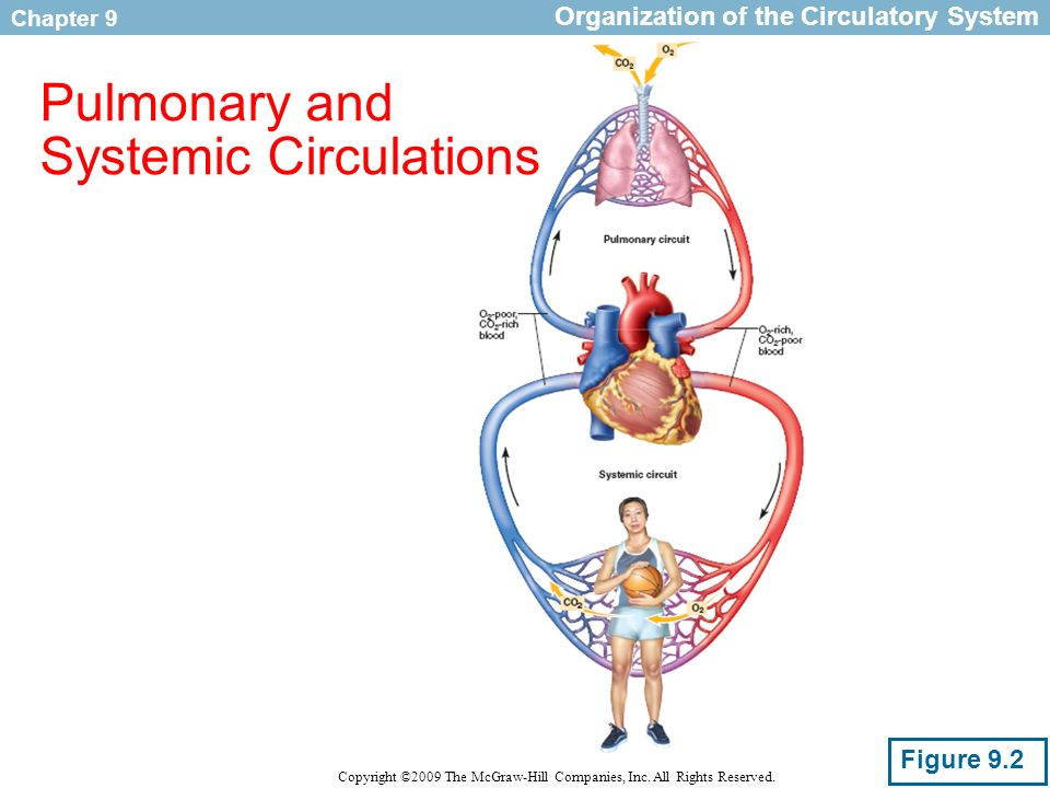 Pulmonary And Systemic Circulation Concept Map.Circulatory Adaptations To Exercise Ppt Video Online Download