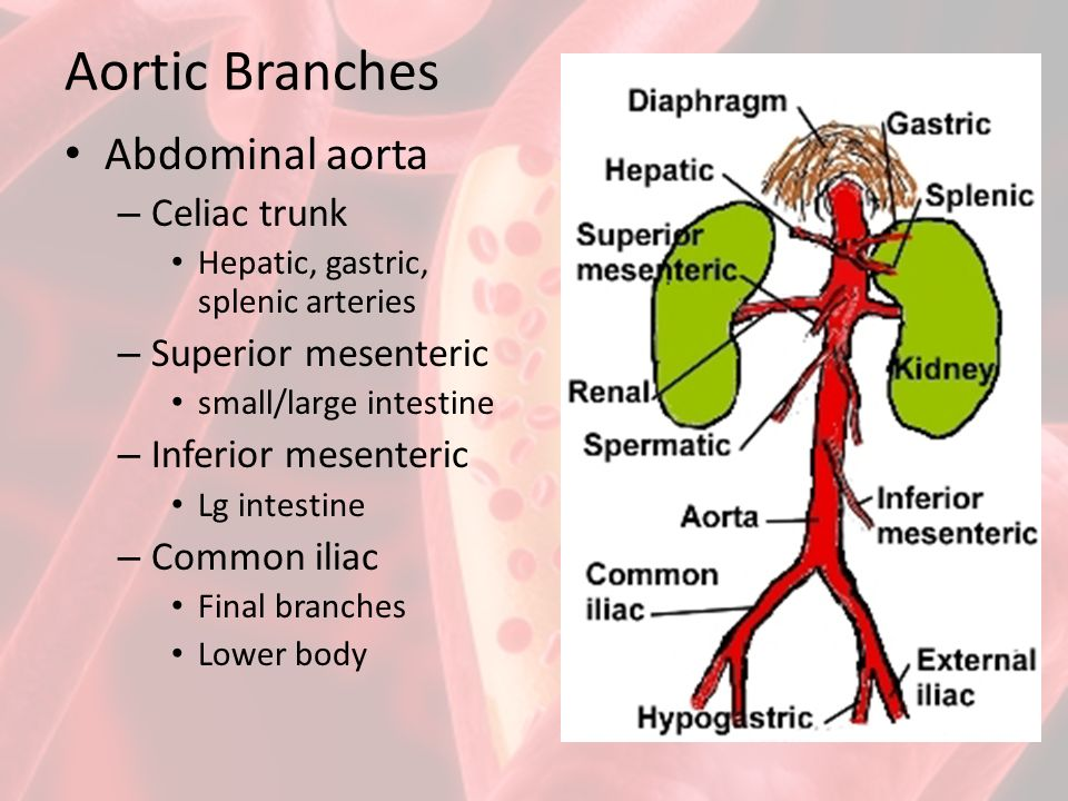 Outstanding Aorta Branches Anatomy Ornament - Anatomy And Physiology ...