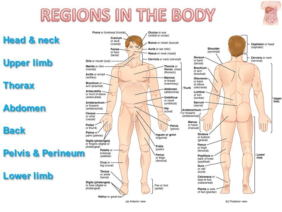 Upper Limb Posterior Body Region   www.imagenesmy.com