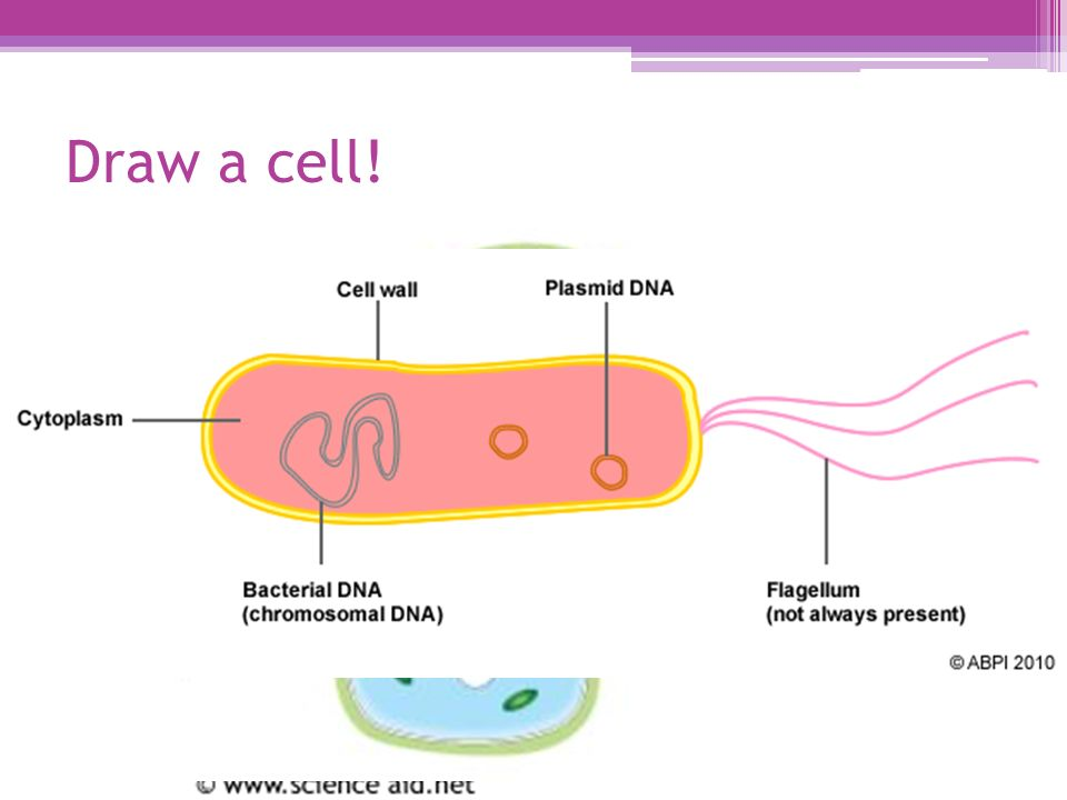 Prime Prokaryotic And Eukaryotic Cells Ppt Video Online Download Wiring Cloud Oideiuggs Outletorg