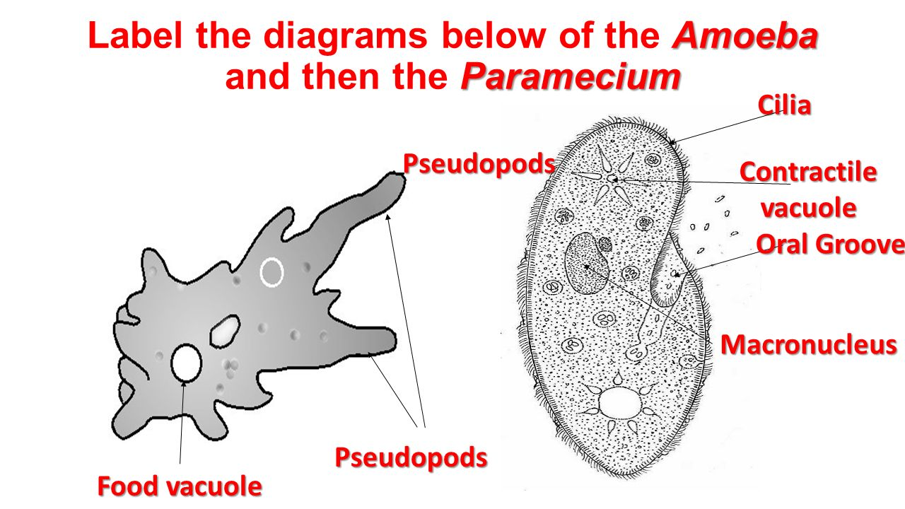Labelled diagram of amoeba and paramecium auto wiring diagram today chapter 19 protists euglena volvox slime mold amoeba spirogyra rh slideplayer com well labelled diagram of ccuart Images