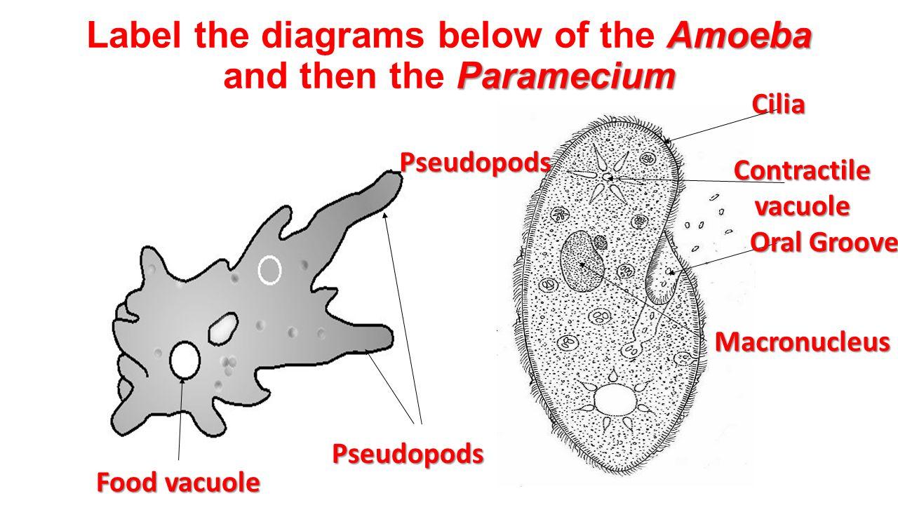 chapter 19 protists euglena volvox slime mold amoeba. Black Bedroom Furniture Sets. Home Design Ideas