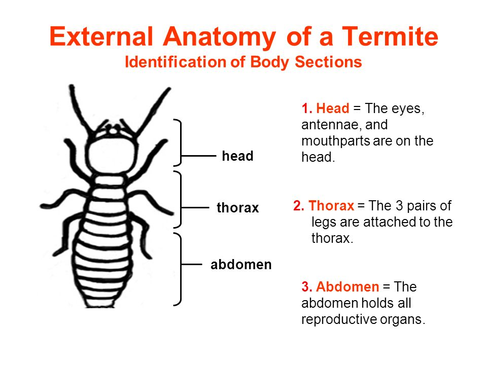 Termite Feeding and the Protozoa - ppt video online download