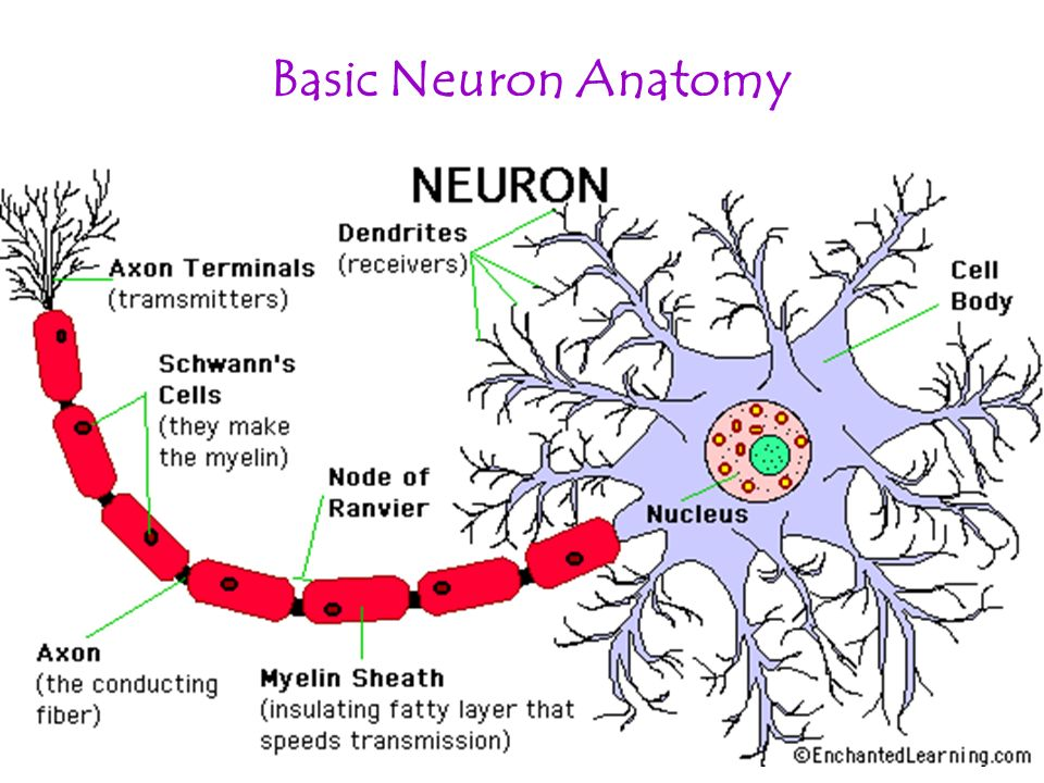 Images Of Axon Of Nerve Cell Rock Cafe