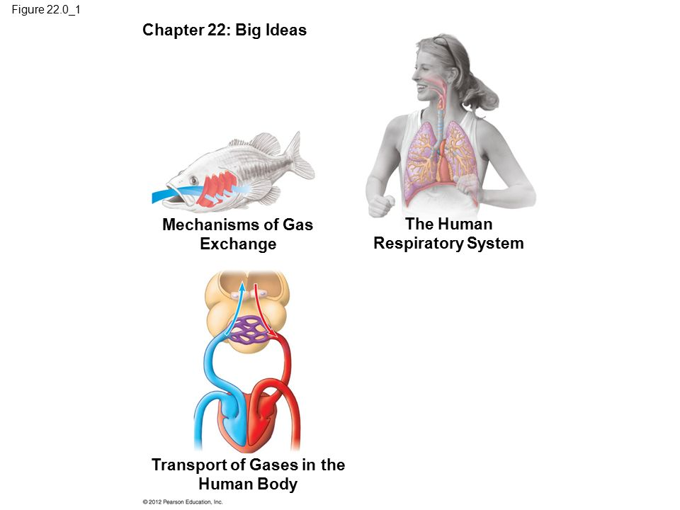 human ap ch 22 respiratory system Human anatomy and physiology ii laboratory the respiratory system  22 the vital capacity.