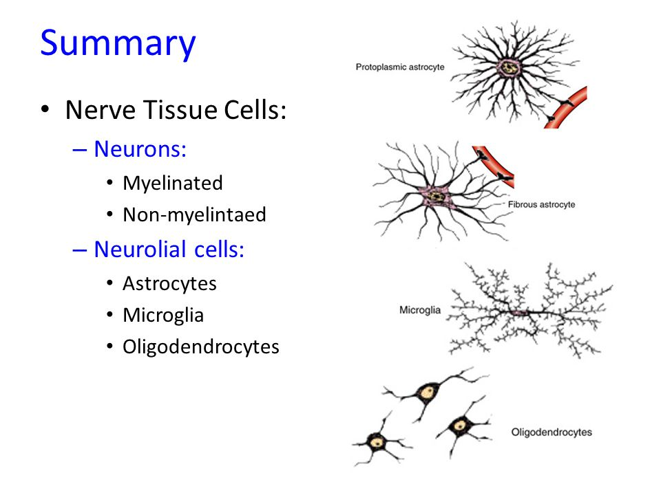 summary nerve tissue cells: neurons: neurolial cells: myelinated