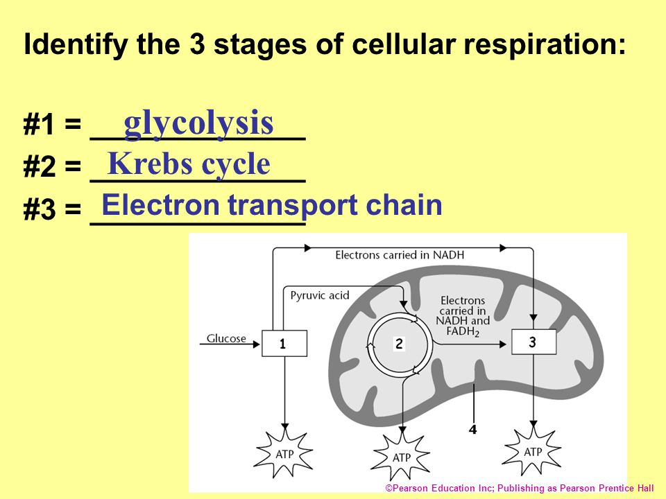 glycolysis krebs cycle and electron transport chain