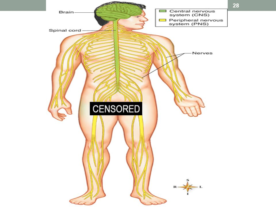 Chapter 9 The Nervous System Ppt Download