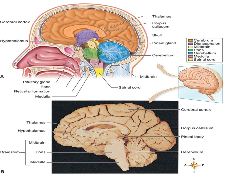 Chapter 9 the nervous system ppt download 34 major ccuart Gallery