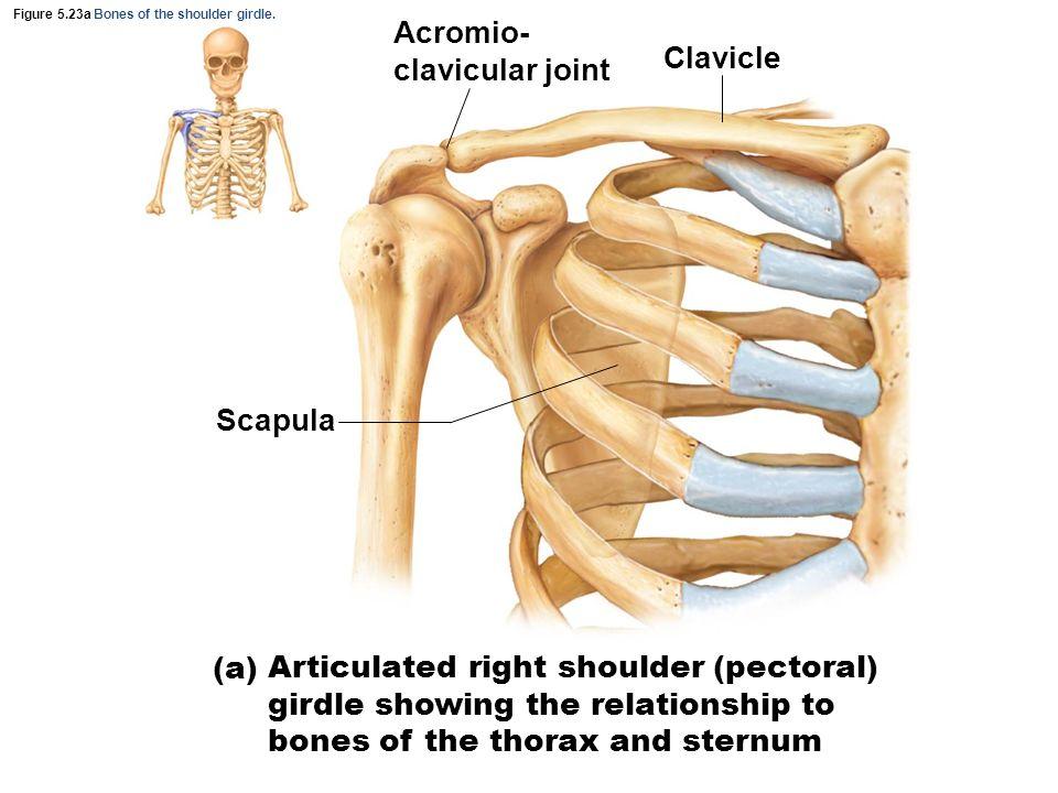 Exelent Shoulder Girdle Anatomy Frieze - Anatomy And Physiology ...