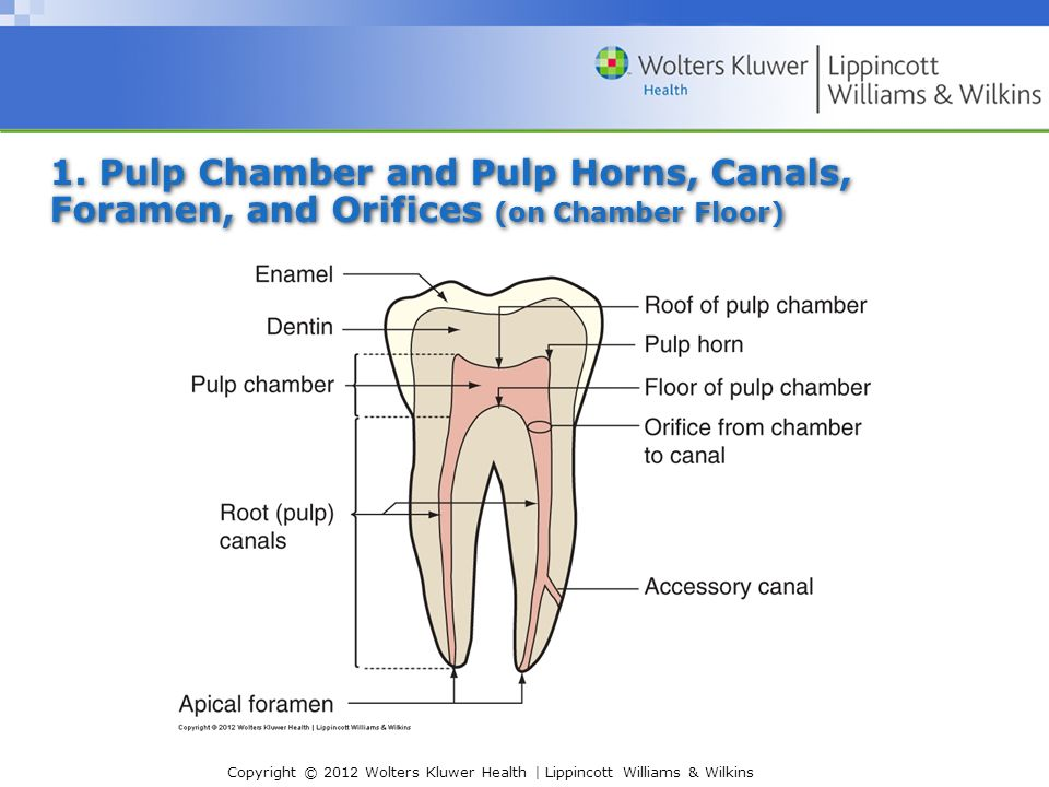 I. Internal Pulp Cavity Morphology Related to Endodontic and ...