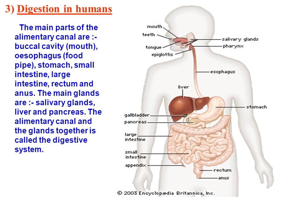 Chapter 2 Nutrition In Animals Ppt Video Online Download