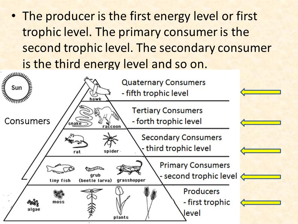 food webs food chains and trophic levels ppt download