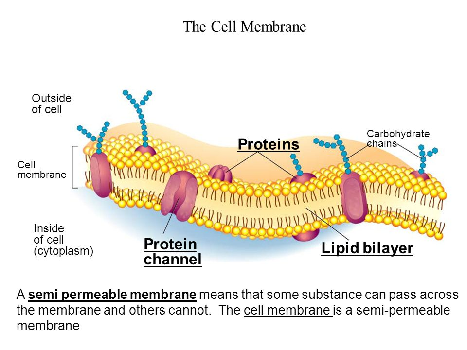Ie cell membrane controls what enters and leaves the cell ppt the cell membrane proteins protein lipid bilayer channel ccuart Images