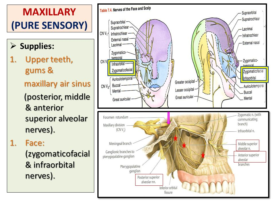 Nerve Supply Of Face 5th 7th Cranial Nerves Ppt Video Online