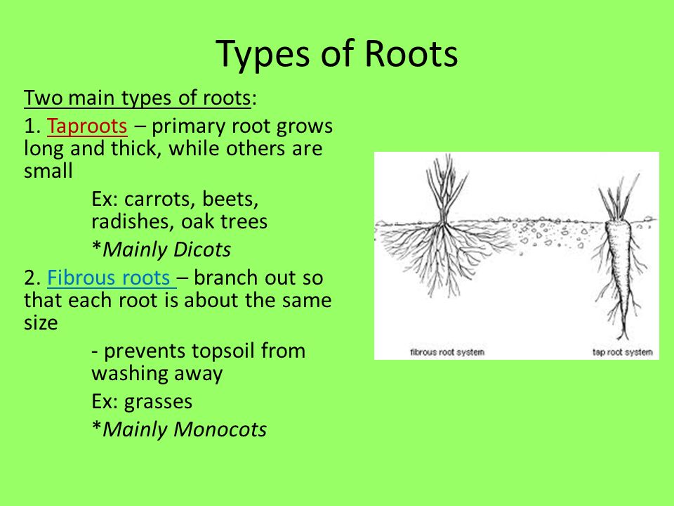 Chapter 23 roots stems leaves ppt download types of roots ccuart Image collections