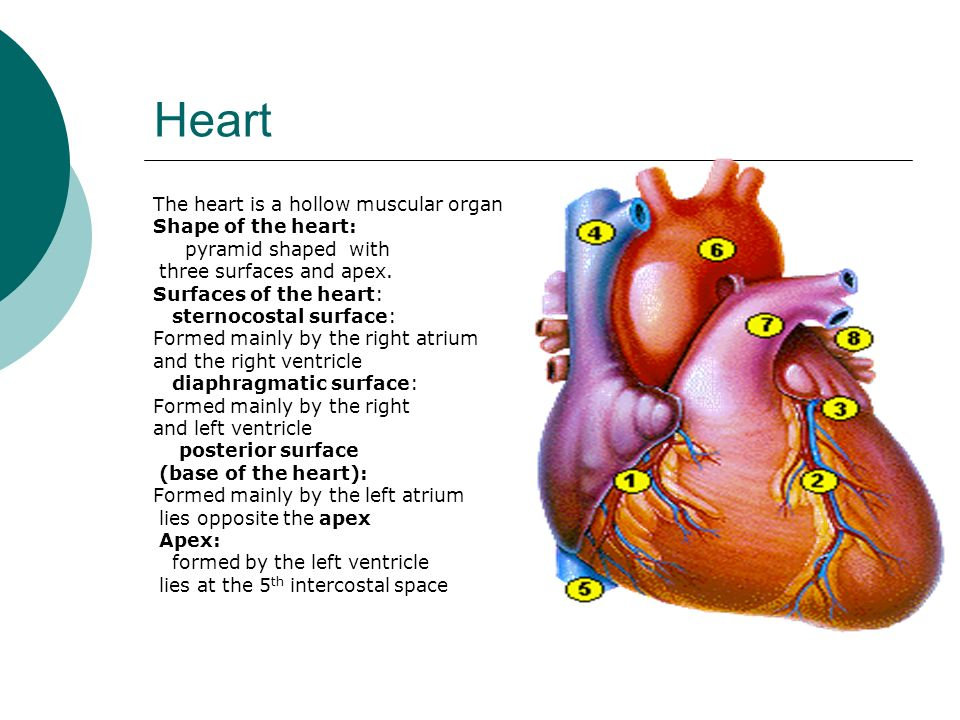 Chambers of Heart ppt download