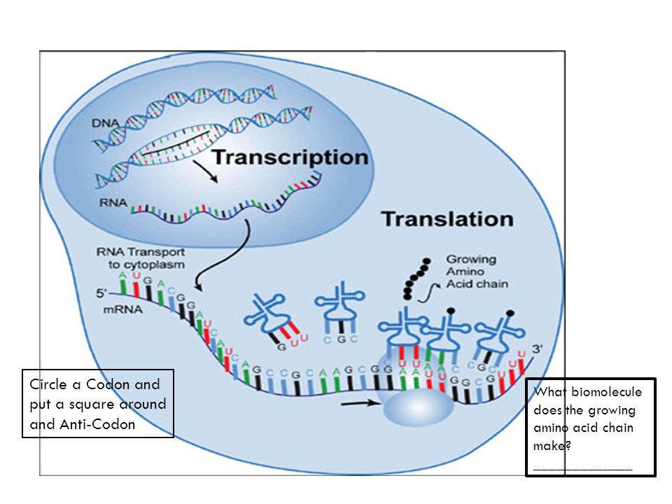Protein Synthesis Circle Diagram Search For Wiring Diagrams
