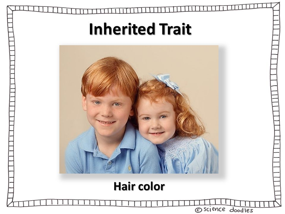 8 Inherited Trait Hair Color