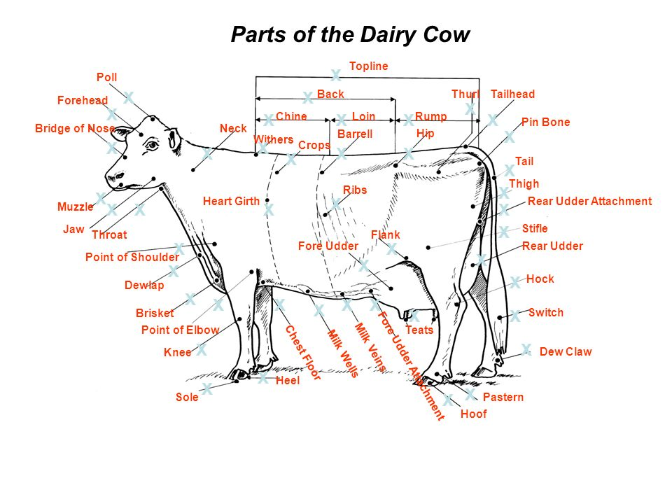 Label Diagram Of A Dairy Cow - Complete Wiring Diagrams •