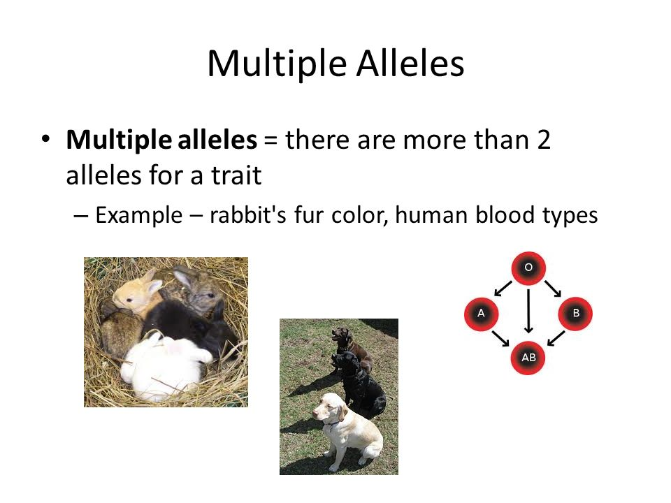 multiple alleles in animals