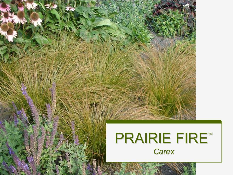 Colored Ornamental Grass from seed… - ppt video online download