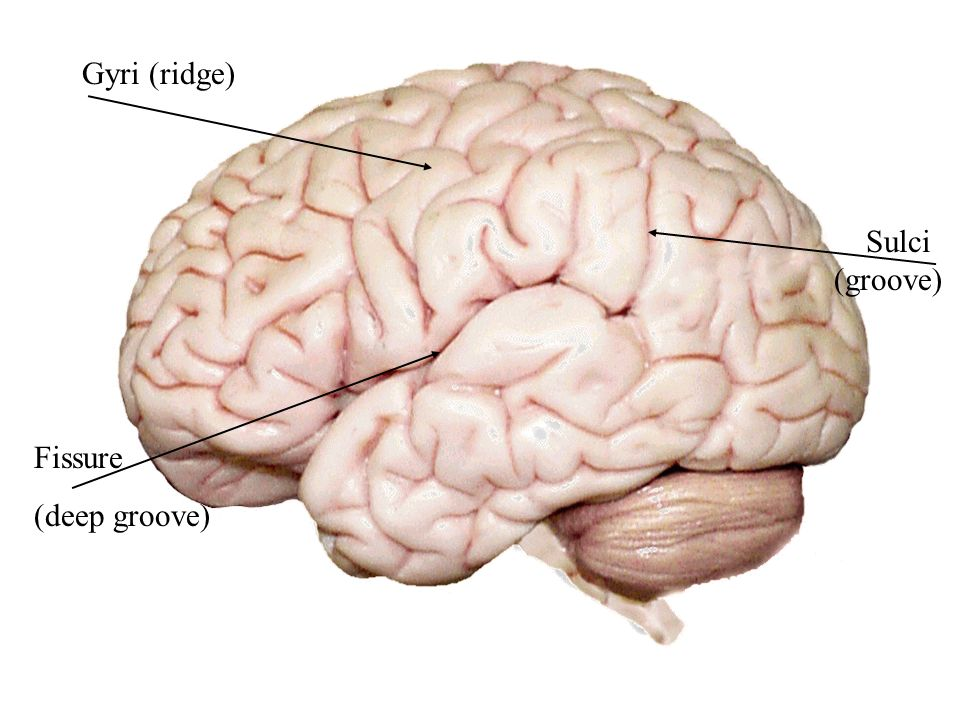 The Human Brain. - ppt download