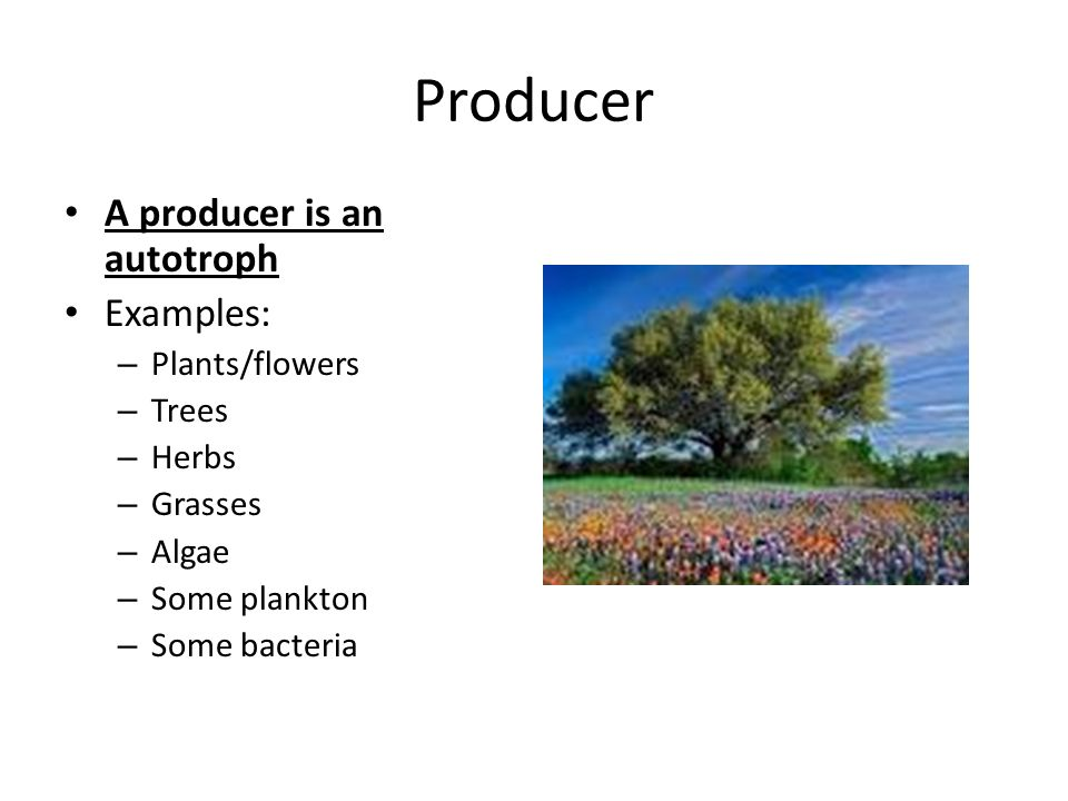 Producer A Is An Autotroph Examples Plants Flowers Trees