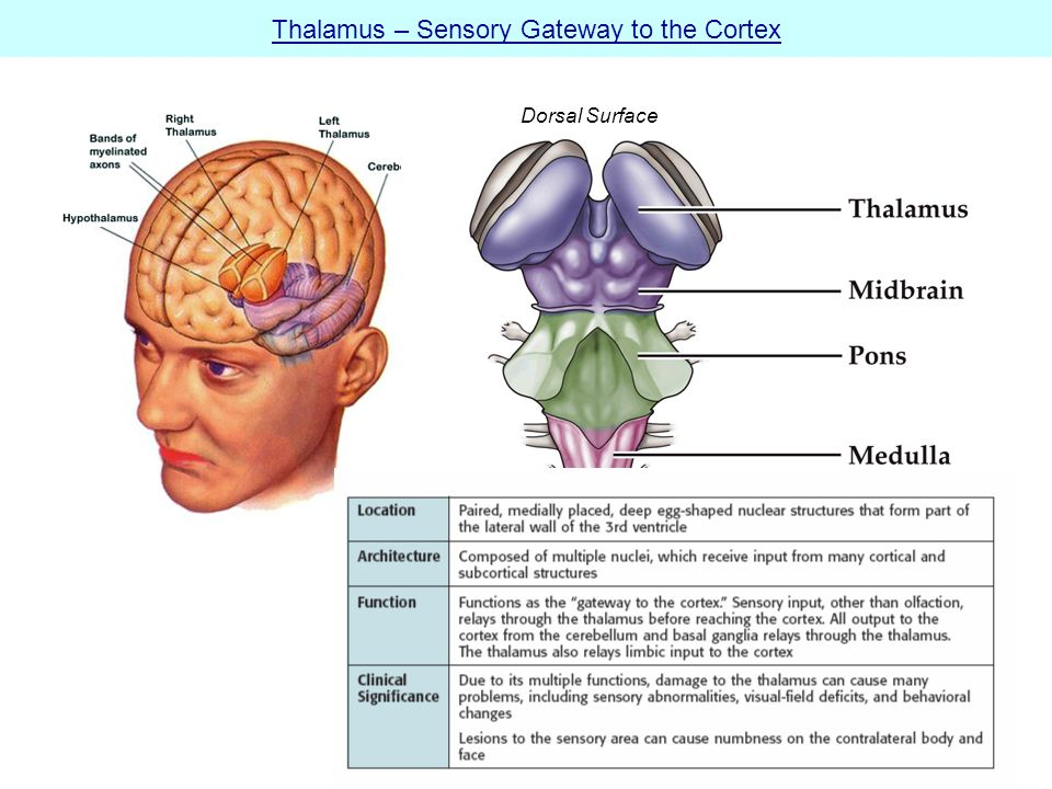 Thalamus Kimberle M. Jacobs, PhD ppt video online download