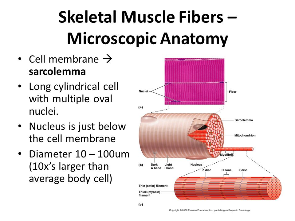 Chapter 9 Muscles and Muscle Tissue - ppt video online download
