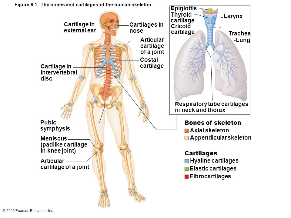 Cartilage Basic Structure Types And Locations Ppt Video Online