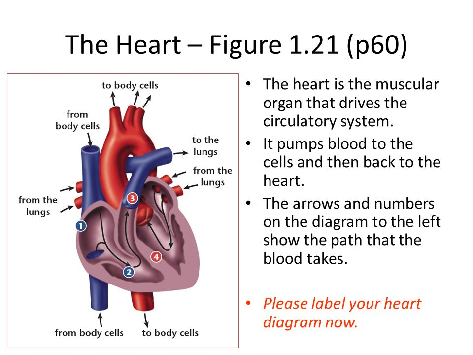 14human systems circulatory system ppt video online download the heart figure 121 p60 the heart is the muscular organ that drives ccuart Images