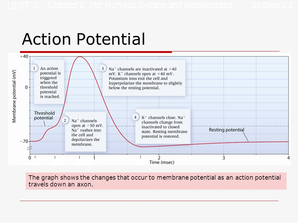 Structures and processes of the nervous system part 2 ppt video 8 action potential ccuart Image collections