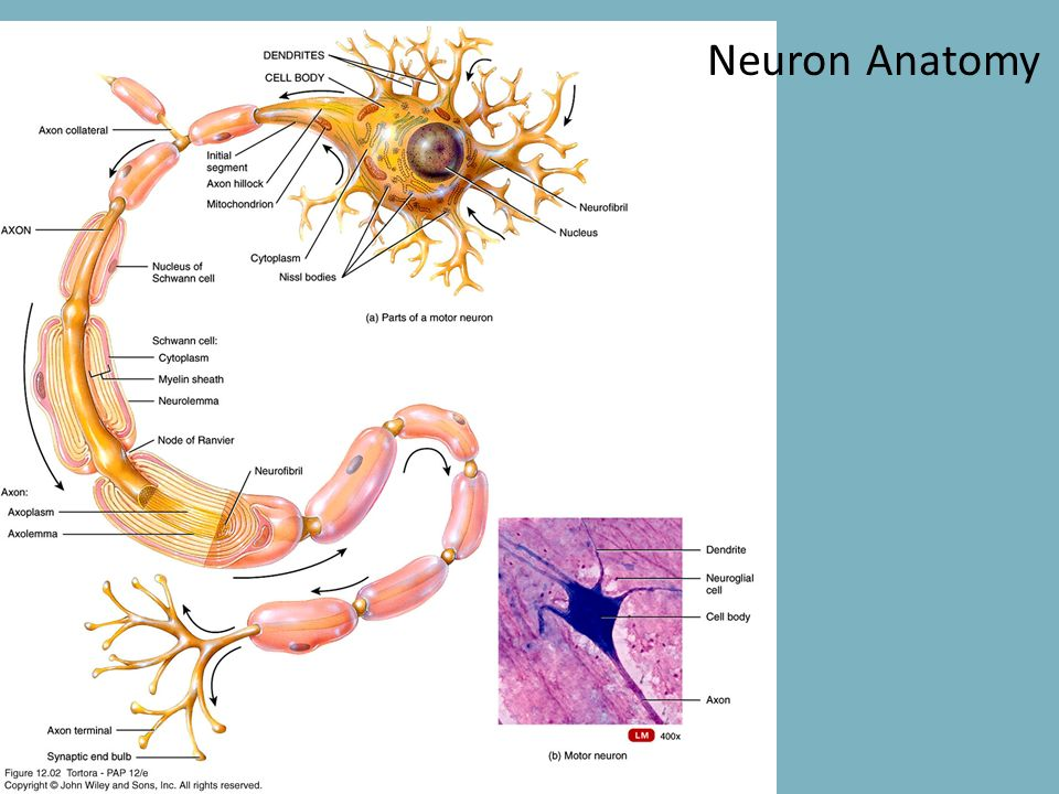 The Nervous System Lab ppt download