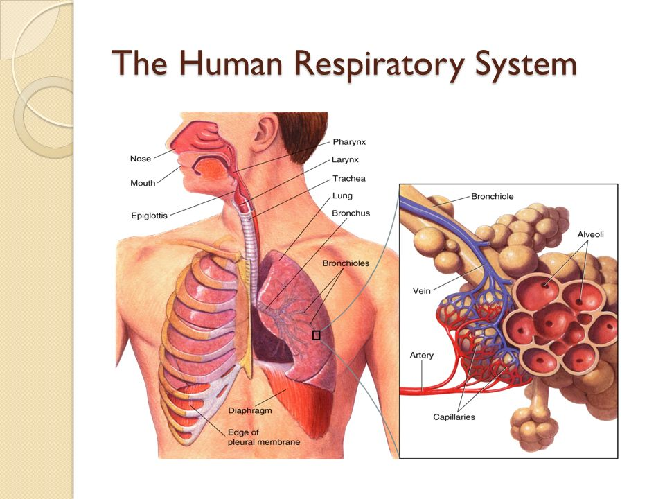 Comparative Anatomy: Animal Body Systems: RESPIRATORY SYSTEM - ppt ...